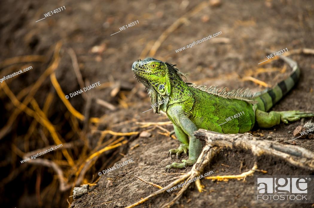Stock Photo: 'Green Iguana ( Iguana iguana )'. Primarily herbivores, iguanas are active during the day, feeding on leaves, flowers, and fruit.