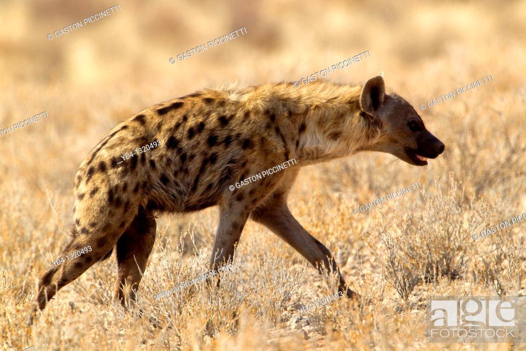 Stock Photo: Spotted hyaena Crocuta crocuta, Kgalagadi Transfrontier Park, Kalahari desert, South Africa.