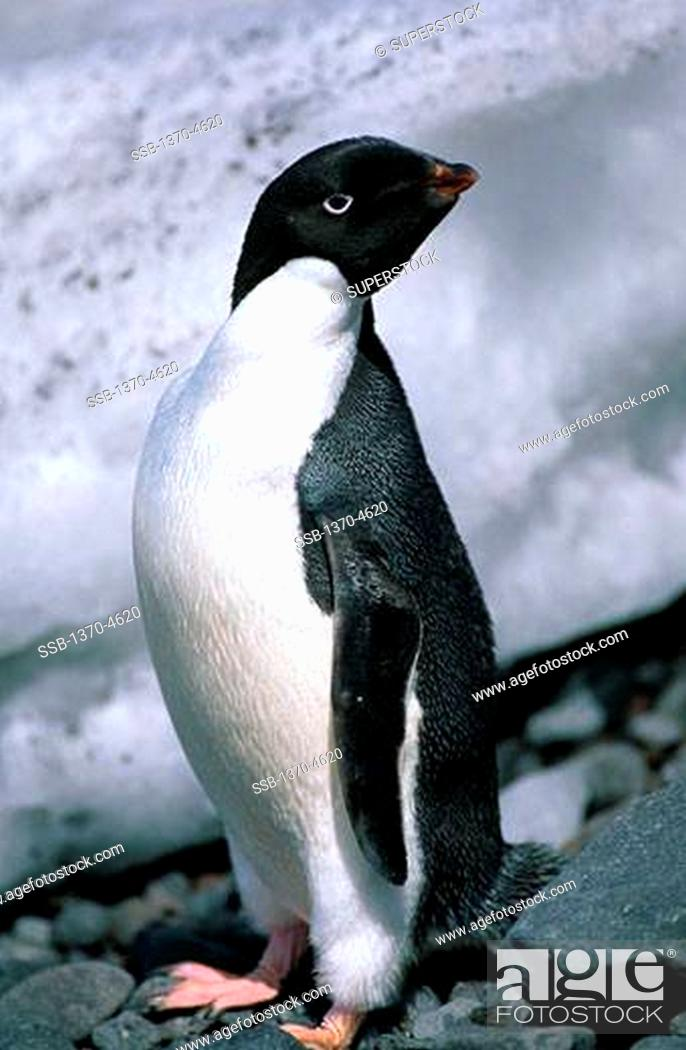 Stock Photo: Adelie Penguin.