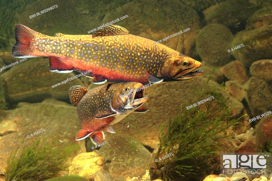 Stock Photo: brook trout, brook char, brook charr Salvelinus fontinalis, male and female in spawning colour.