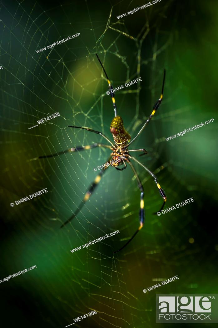 """Stock Photo: """"""""""""""""""""Golden silk orb-weaver"""""""" (Nephila), A large orange and brown spider with the feathery tufts on its legs is well know to most native southerners."""