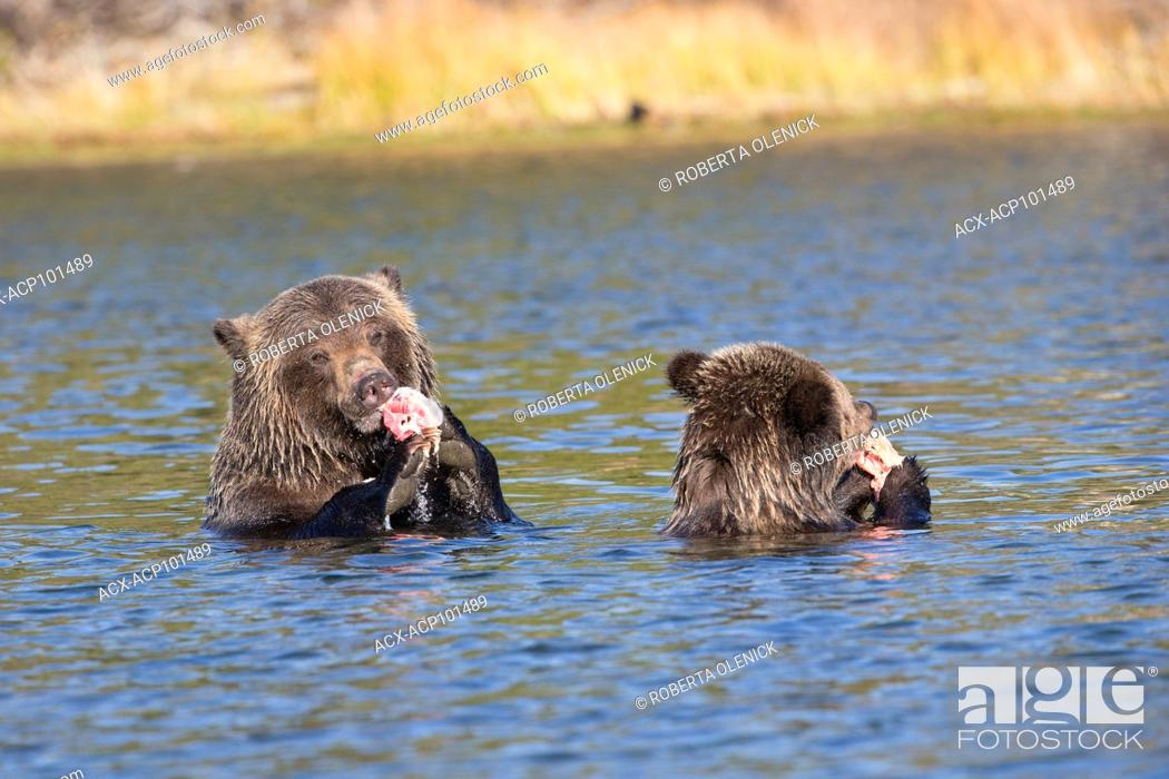 Stock Photo: Grizzly bear (Ursus arctos horribilis), female and two-year old cub eating sockeye salmon (Oncorhynchus nerka), Central Interior, British Columbia, Canada.