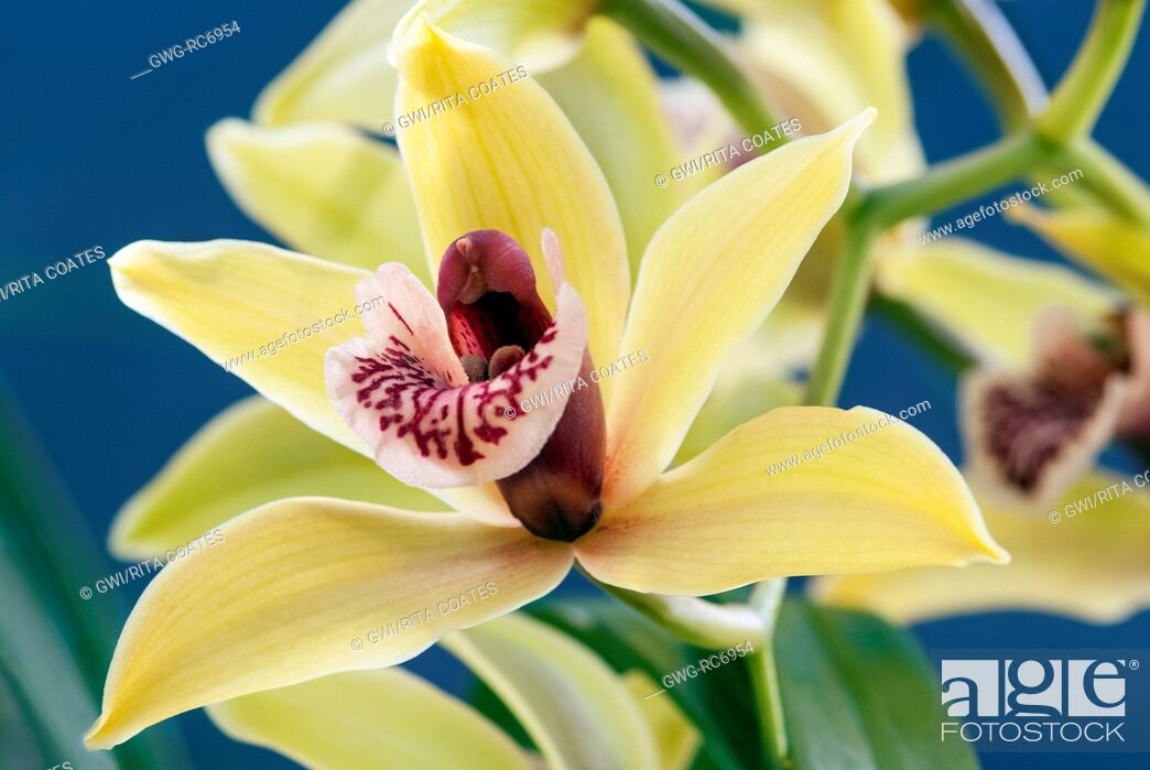 Stock Photo: CYMBIDIUM HIGHLAND WOOD 'CHELSEA GREEN'.