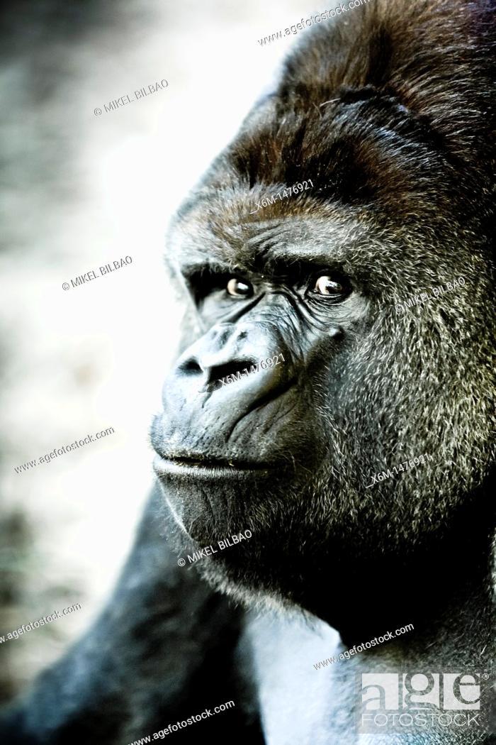 Stock Photo: Western Gorilla Gorilla gorilla  Park of the Nature of Cabarceno  Cabarceno, Cantabria, Spain.