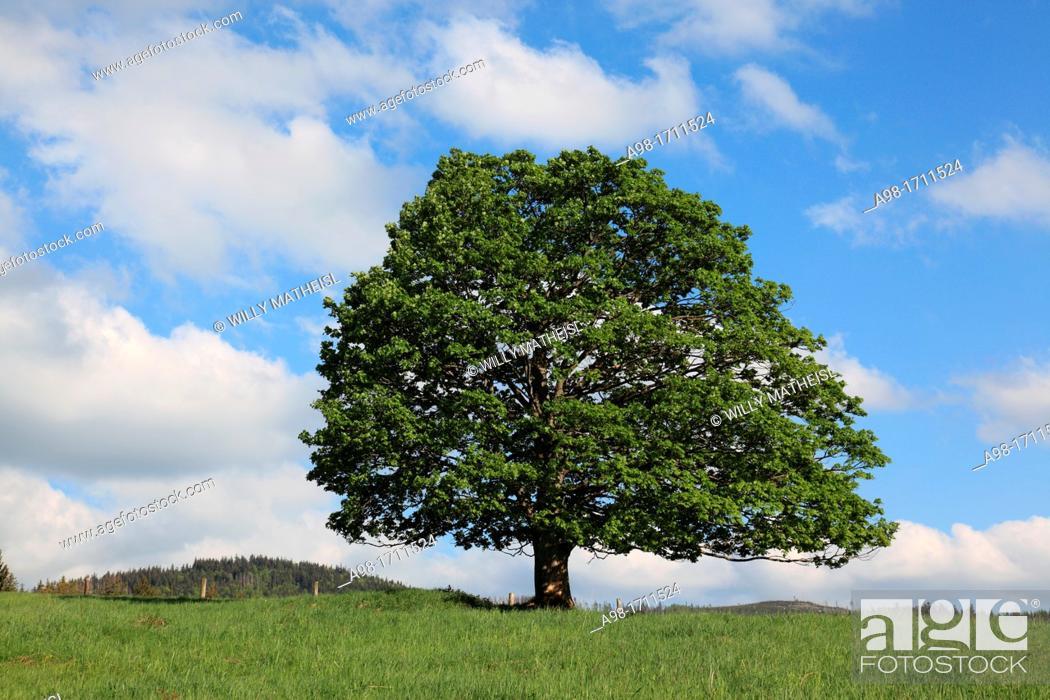Stock Photo: Sycamore maple tree in Bohemia, Czech Republic, Europe.