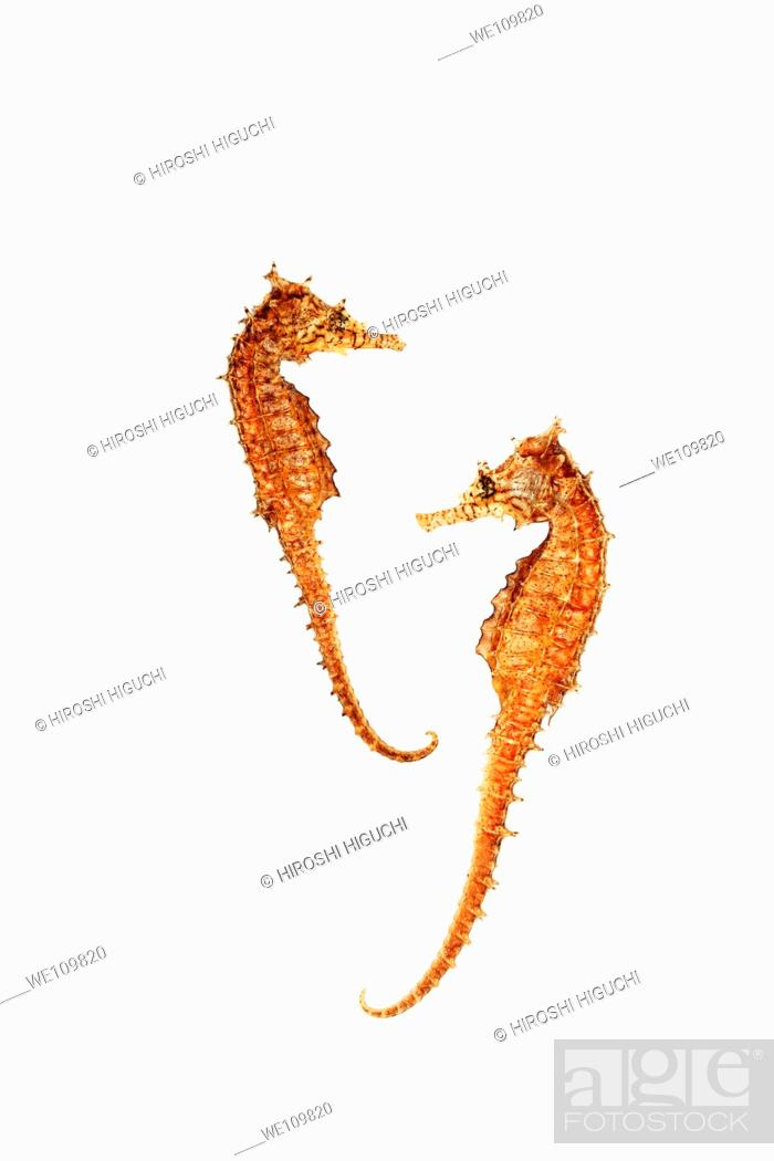 Stock Photo: Two sea horses on White background.