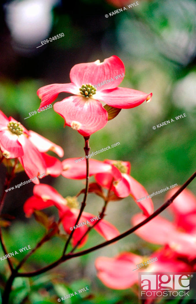 Stock Photo: Red dogwood (Cornus Florida) blossoms, springtime in Indiana, USA.