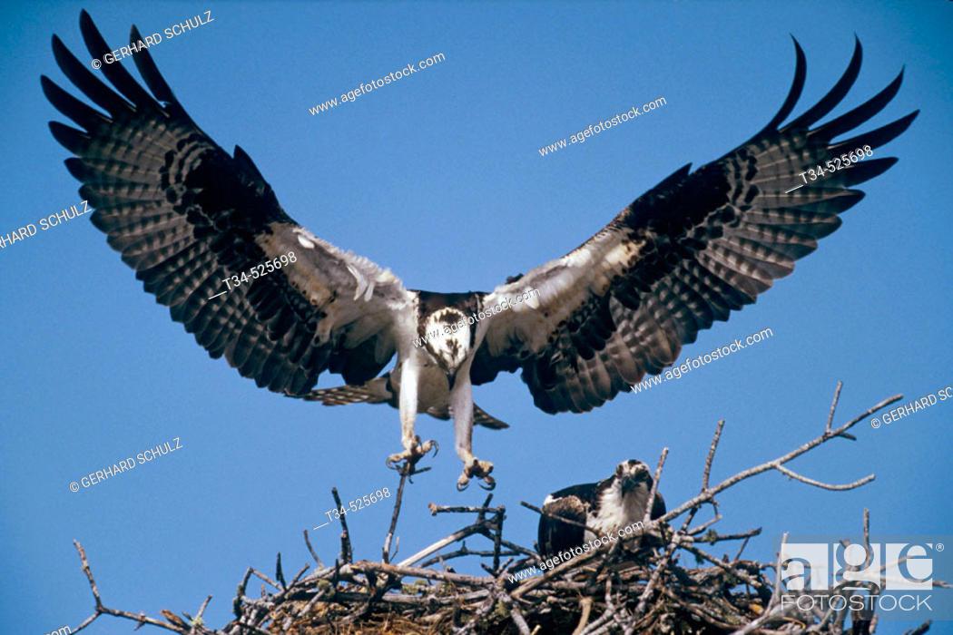 Stock Photo: Osprey with nesting Material. Pandion haliaetus. Sanibel Island / Florida, USA.