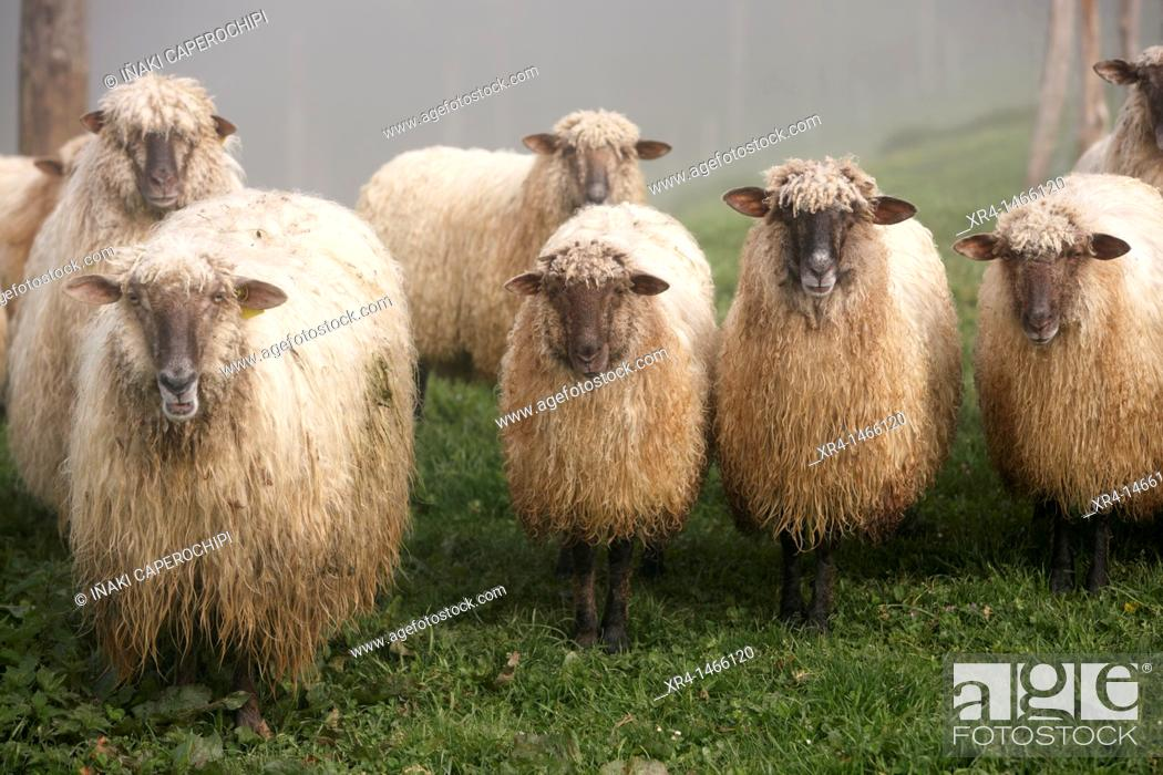 Stock Photo: Latxa Sheep in the Massif of Izarraitz, Guipuzcoa, Gipuzkoa, Euskadi, Basque Country, Spain.
