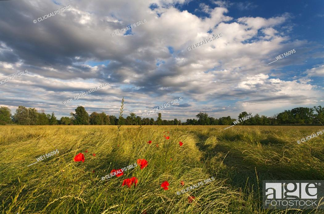 Stock Photo: Torre Pallavicina, Oglio north park, Bergamo province, Lombardy, Italy. Poppies field with clouds in Po valley.