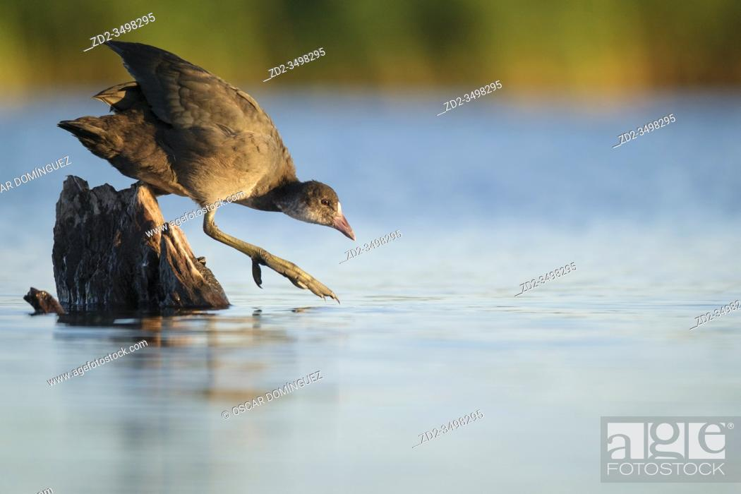 Stock Photo: Common Coot (Fulica atra) juvenile perched on a stump surrounded by water. Nemunas Delta. Lithuania.