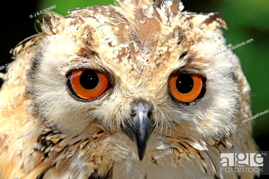 Stock Photo: Indian Eagle-Owl, Rock Eagle-Owl or Bengal Eagle-Owl (Bubo bengalensis), adult, Cape Town, South Africa, Africa.