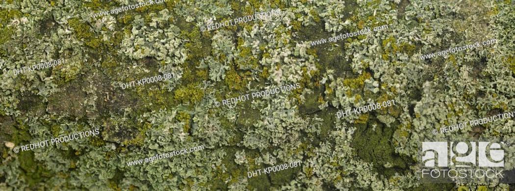 Stock Photo: Lichen on tree trunk close up.