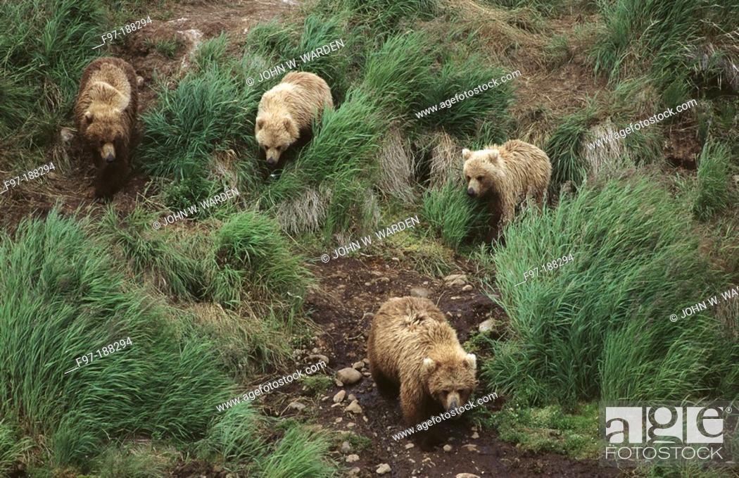 Stock Photo: Brown Bears (Ursus arctos), sow and cubs. Alaska. USA.