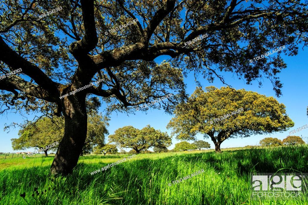 Stock Photo: meadow of oaks, Santarem district, Medio Tejo, region center, Portugal, Europe.