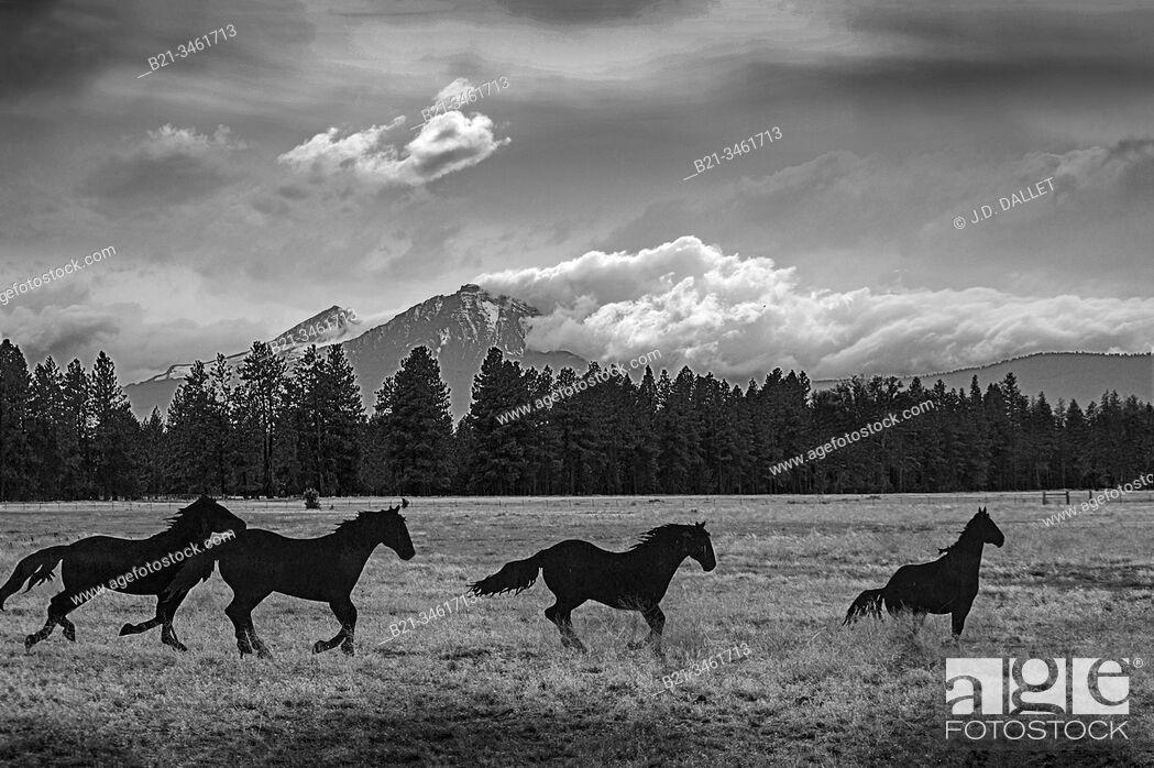 Stock Photo: USA, Oregon, near Sisters. Horses.