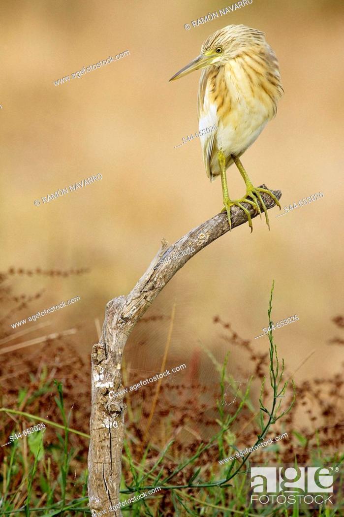 Stock Photo: Squacco Heron (Ardeola ralloides), Doñana National Park. Huelva province, Andalucia, Spain.
