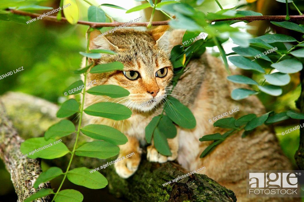 Stock Photo: AFRICAN WILDCAT felis silvestris lybica, ADULT STANDING ON BRANCH.