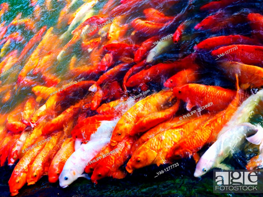 Stock Photo: Koi in a pond.