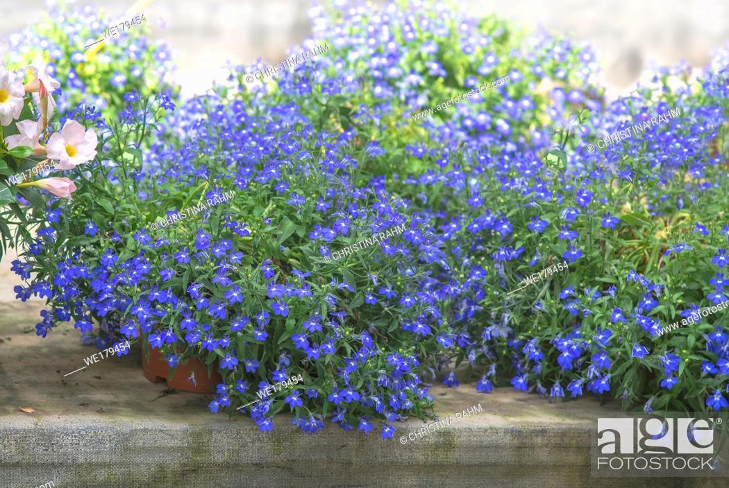 Stock Photo: Blue lobelia flowers on greenhouse canvas. Spring garden series, Mallorca, Spain.
