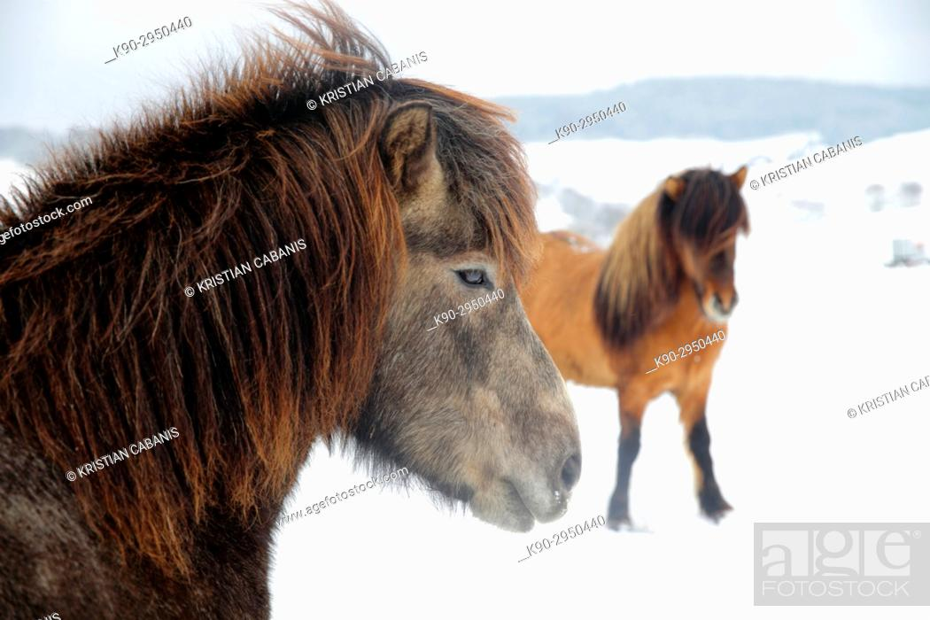 Stock Photo: Two Icelandic horses standing behind eachother on their snow covered meadow, Lennestadt, Siegerland, North-Rhein-Westphalia, Germany, Europe.