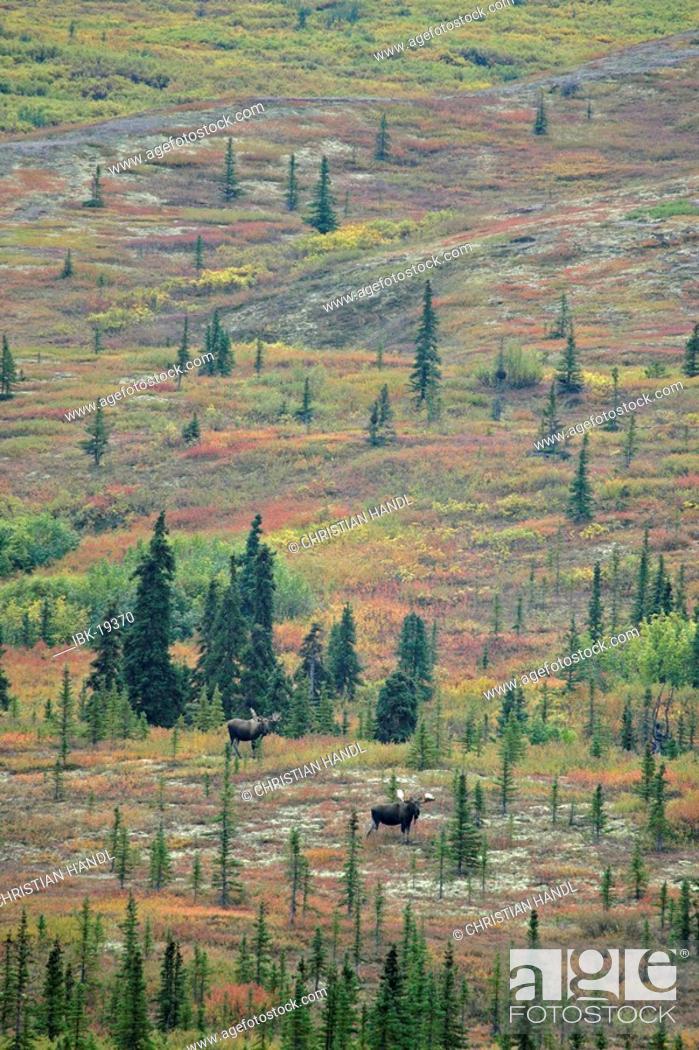 Stock Photo: Male Moose Alces alces in the autumn coloured Denali Nationalpark Alaska USA.