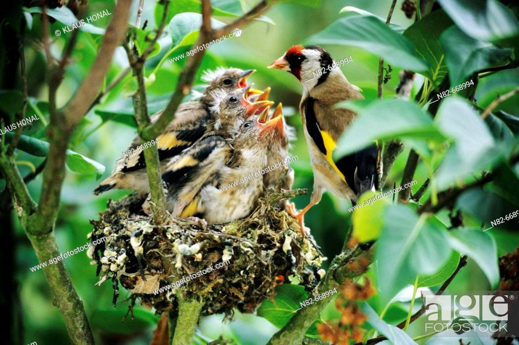 Stock Photo: Goldfinch (Carduelis carduelis) feeds his five fledglings at the nest.