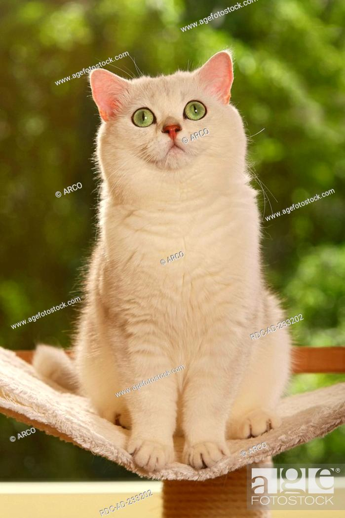 British Shorthair Cat Tomcat Chinchilla Stock Photo Picture And Rights Managed Image Pic Rdc Ad 233202 Agefotostock