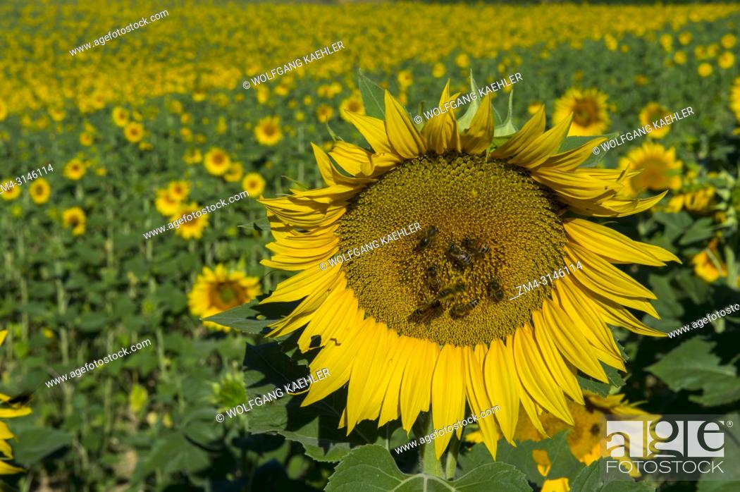 Stock Photo: A sunflower with honey bees in a sunflower field on the Valensole plateau near Digne-les-Bains and the Verdon gorges in the Alpes-de-Haute-Provence region in.