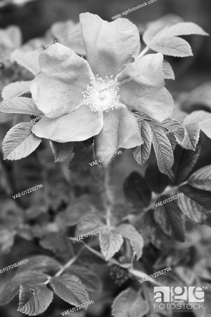 Stock Photo: Black And White, Blossom, Cultivated, Flora, Flower, Foliage.