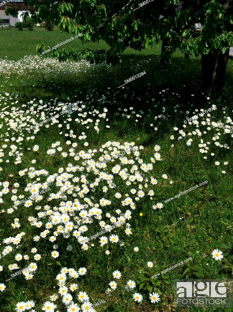 Imagen: field with marguerite flowers, Bavaria, Germany, Europe.