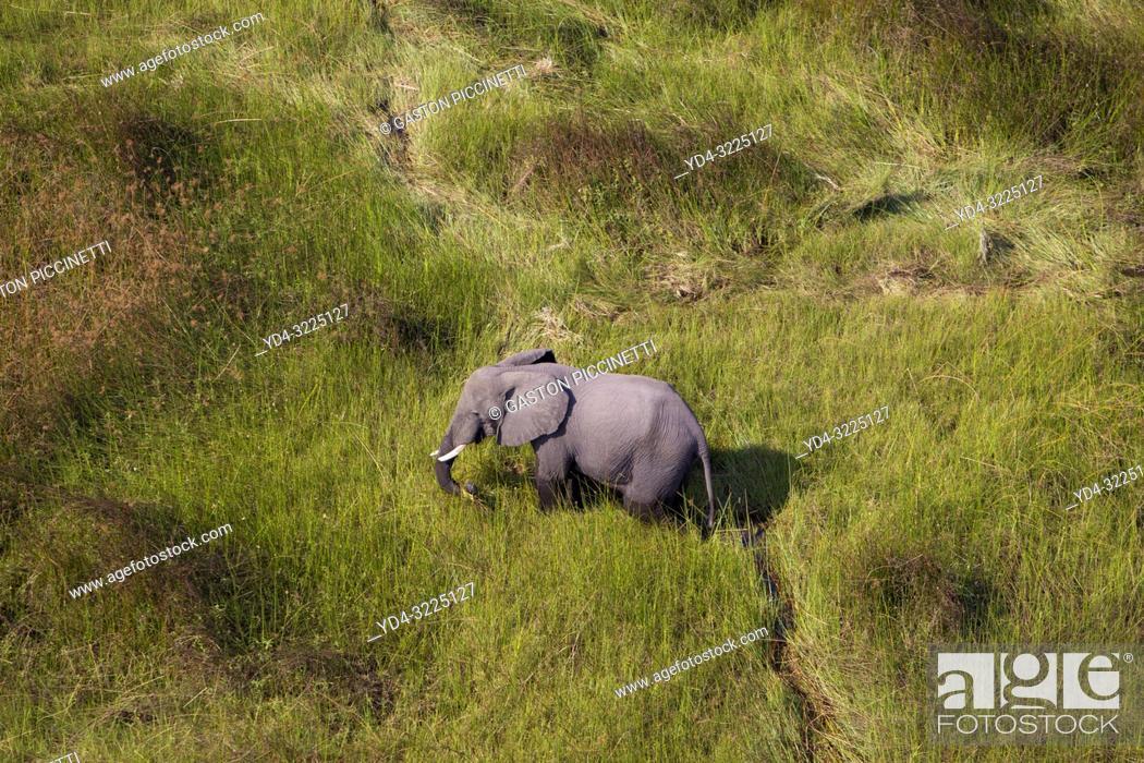 Photo de stock: African Elephant (Loxodonta africana), roaming in a freshwater marsh, aerial view, Okavango Delta, Botswana. . The Okavango Delta is home to a rich array of.