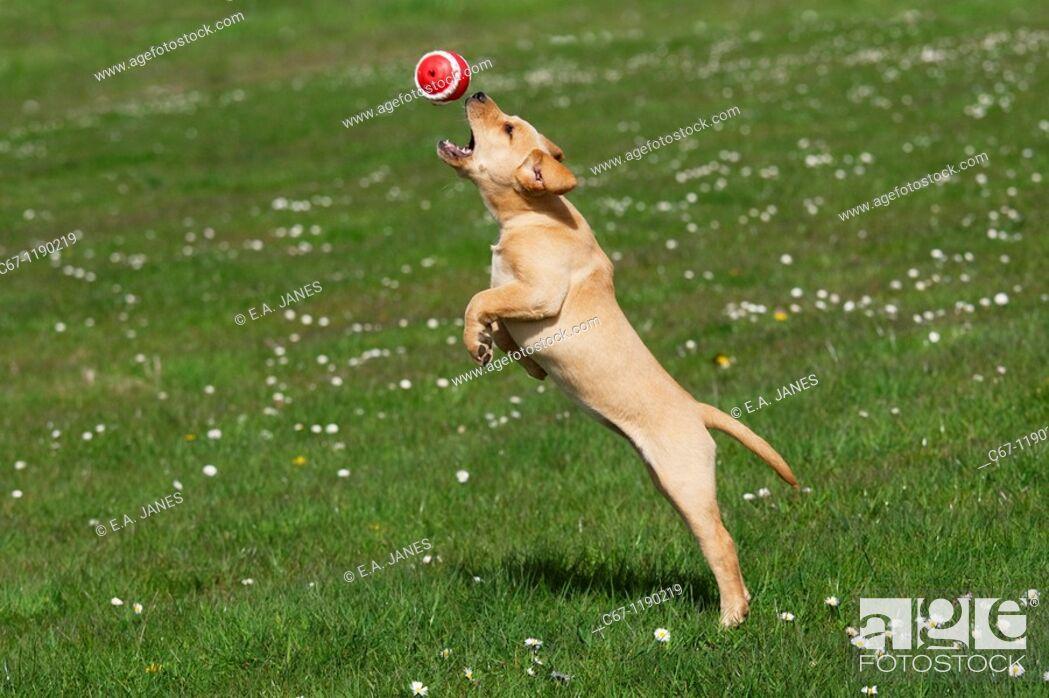 Stock Photo: Yellow Labrador Puppy.