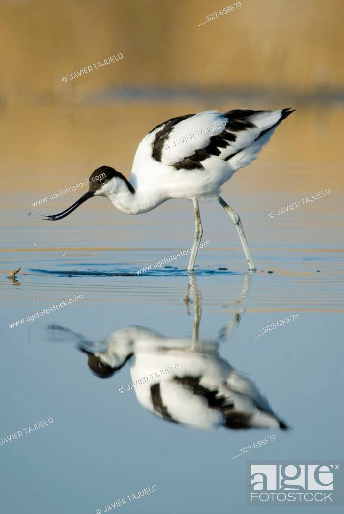 Photo de stock: Avocet (Recurvirostra avosetta).