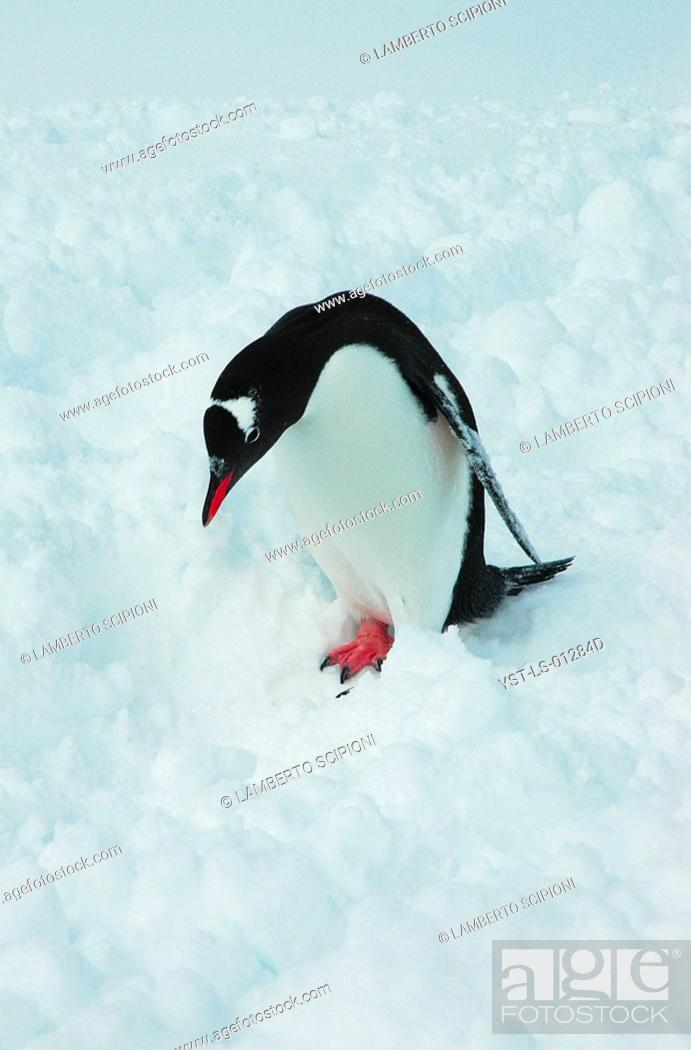 Imagen: Animal, Penguin, Polar Desert, Cuvervil, South Pole, Antarctica.