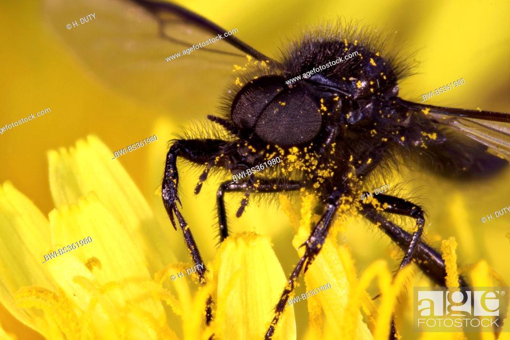 Stock Photo: St. Mark's fly (Bibio marci), on a flower, Germany.