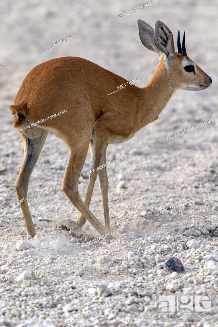 Stock Photo: Steenbok (Raphicerus campestris) burying dung - Safarihoek Lodge, Etosha Heights, near Etosha National Park, Namibia, Africa.