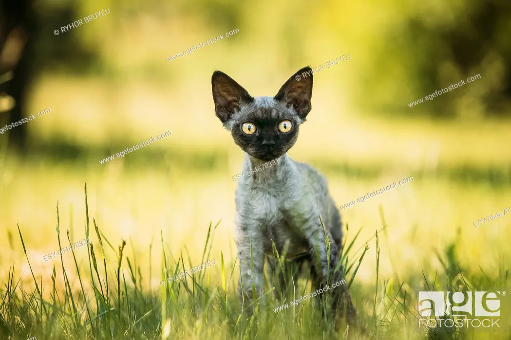 Stock Photo: Funny Young Gray Devon Rex Kitten In Green Grass. Short-haired Cat Of English Breed.