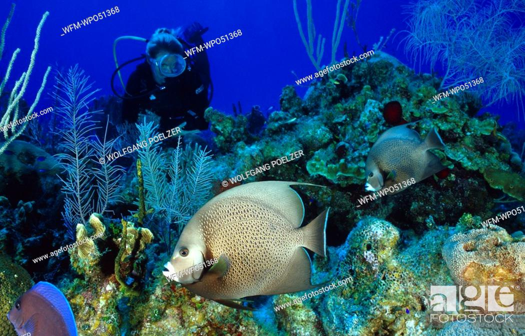 Stock Photo: Scuba diver with angelfish on colorful coral reef, Pomacanthus arcuatus, Caribbean Sea, Cayman Islands.