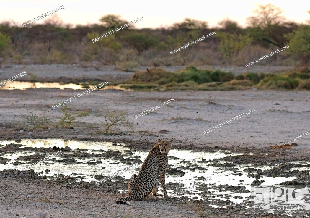 Stock Photo: 29 November 2019, Namibia, Etosha-Nationalpark: A cheetah sits by a puddle in Etosha National Park. Photo: Oliver Berg/dpa.