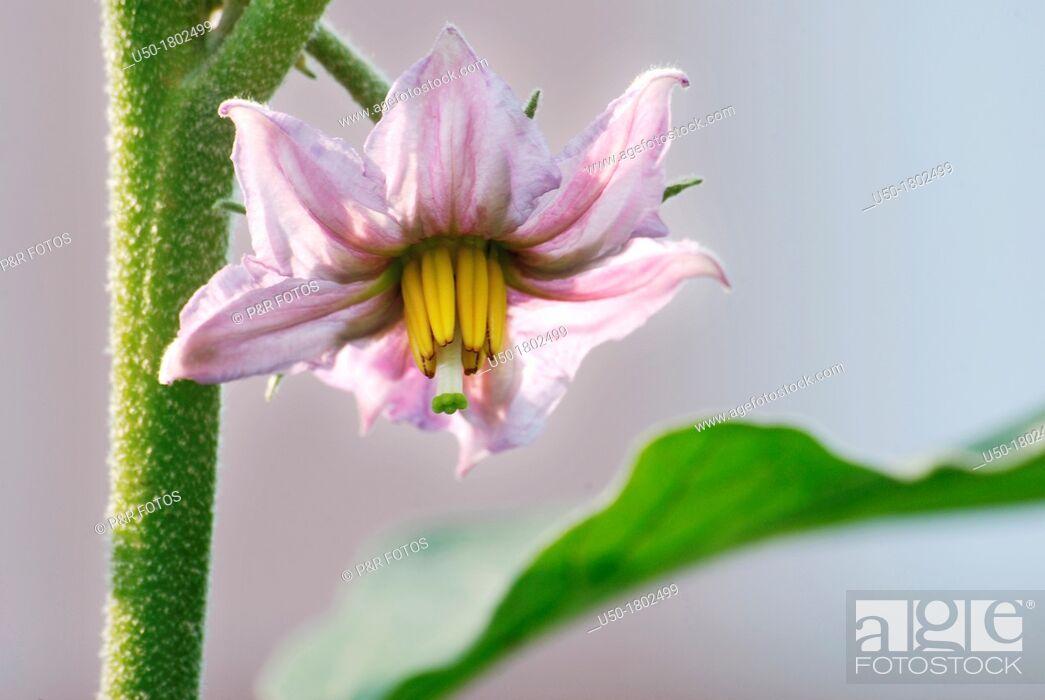 Stock Photo: Hermaphrodite eggplant flower, Solanum melongena, Solanaceae.