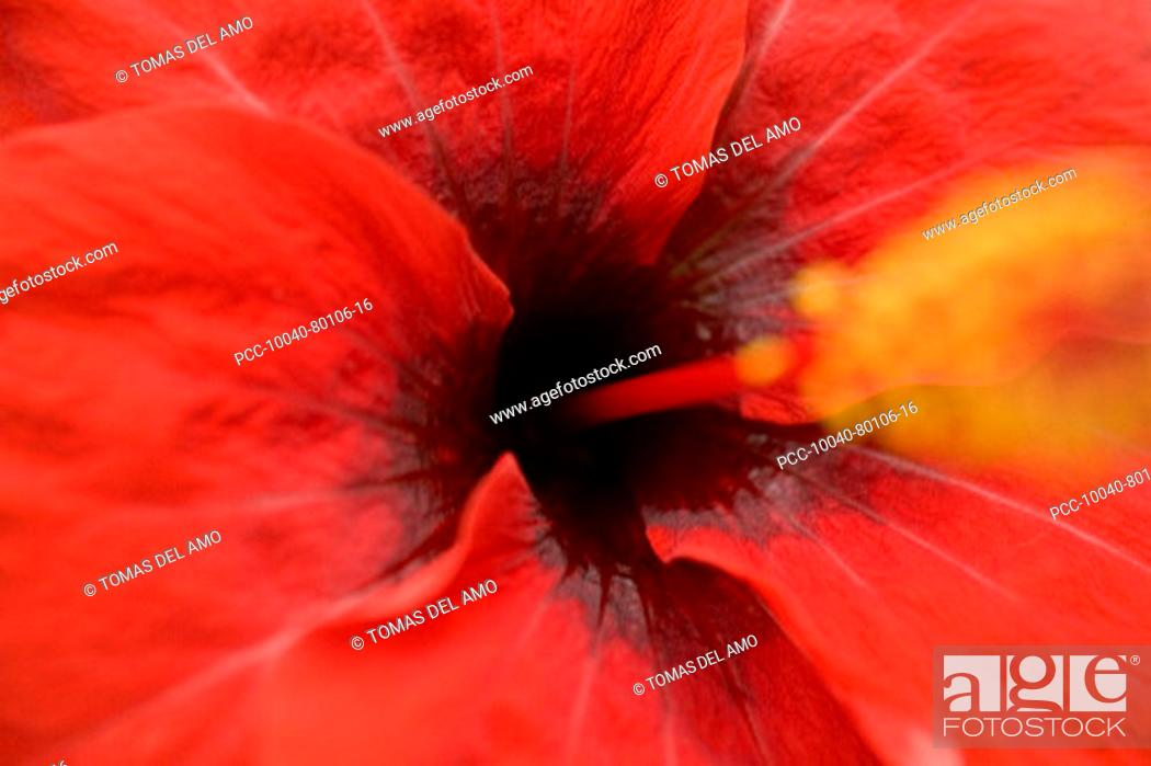 Stock Photo: Close-up of red hibiscus, focus on center, stamen blurred.
