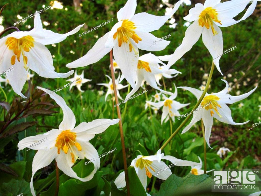 Stock Photo: Avalanche Lilies on Alta Vista Trail, Mt. Rainier National Park, Washington state, US.