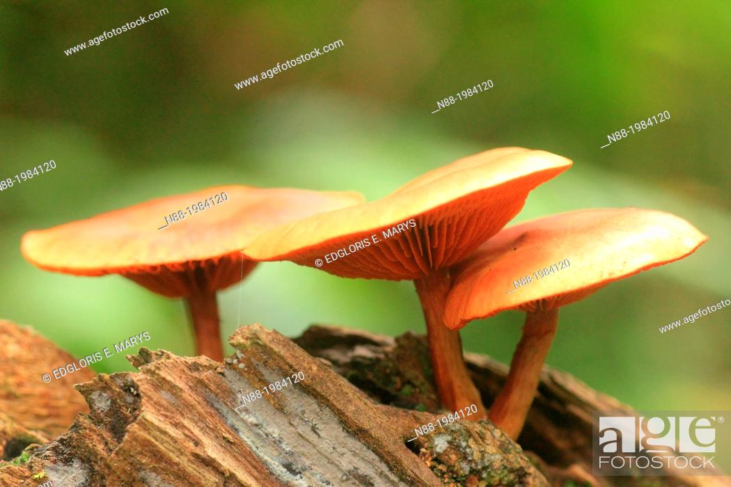 Stock Photo: Hygrocybe mushroom fungi, San Eusebio Cloud Forest, Merida, Venezuela.