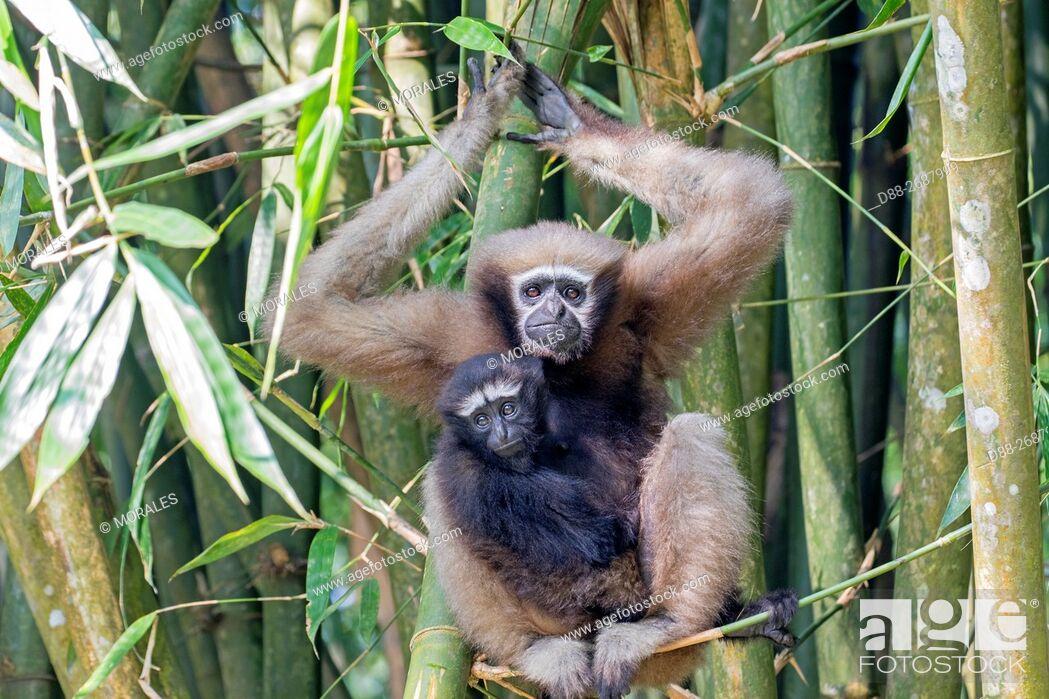 Stock Photo: South east Asia, India,Tripura state,Gumti wildlife sanctuary,Western hoolock gibbon (Hoolock hoolock), adult female with baby.