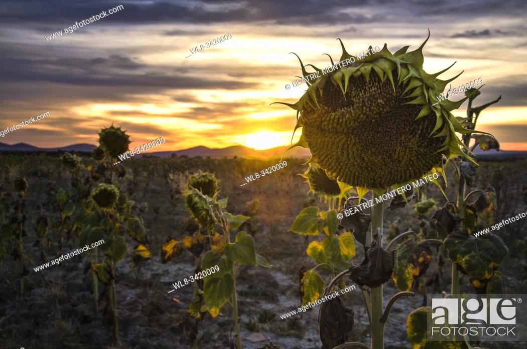 Stock Photo: Landscape of dried sunflowers at sunset.