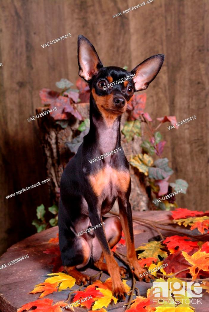 Stock Photo: companion, pinscher, house pet, canines, domestic, pose, miniature pinscher.