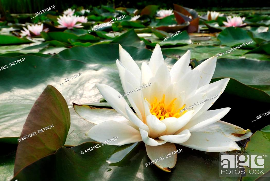Stock Photo: Pond covered with Waterlilies (Nymphaea alba).