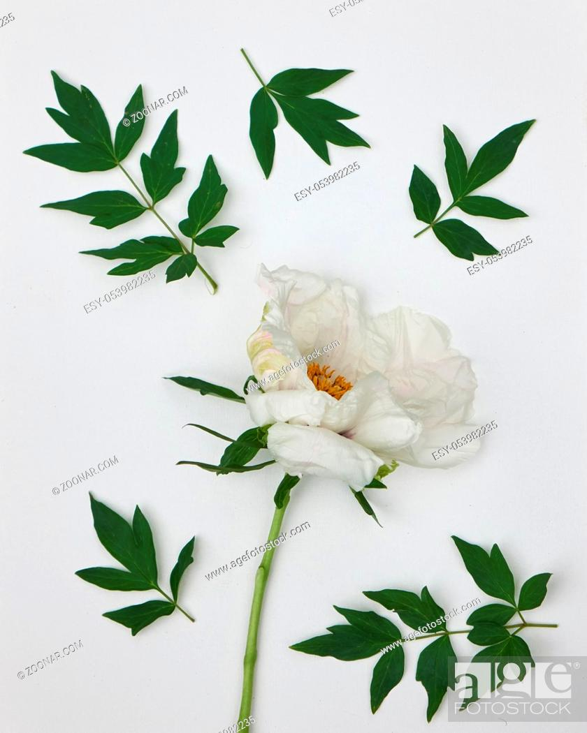 Photo de stock: Branch with leaves and flower wite peony isolated on white background. Flat lay.