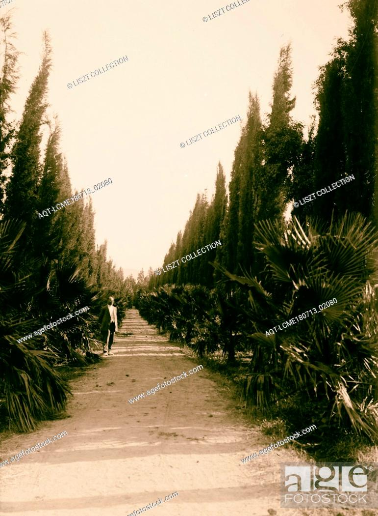 Stock Photo: Jewish colonies and settlements. Various Jewish colonies, etc. Palm and cypress avenue at Migdol. 1920, Israel, Migdal.
